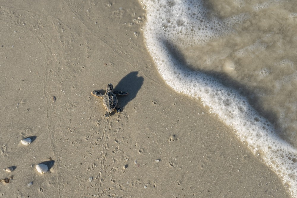 About Us Turtle Hatchling