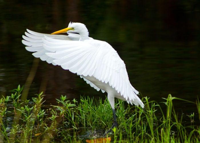Great Egret In Filter Marsh