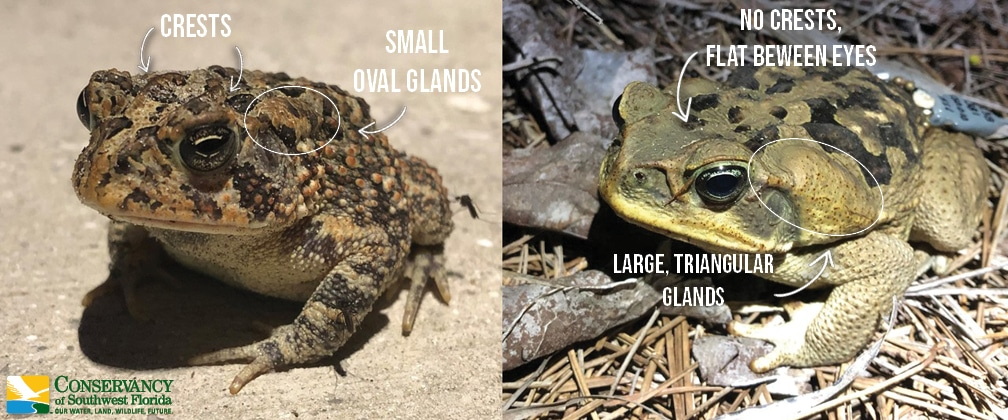 Toad Comparison Graphic