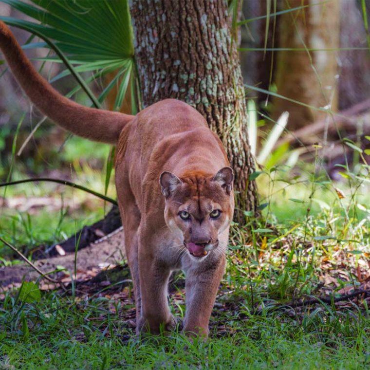 Panther Walk