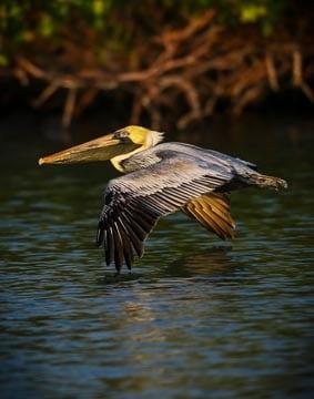 Brown pelican flying above water