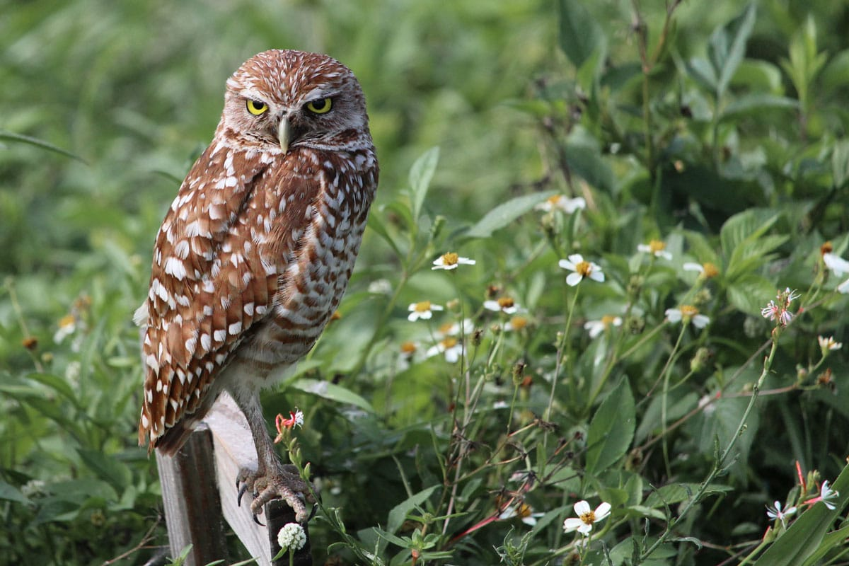 Policy Habitat Protect Burrowing Owl