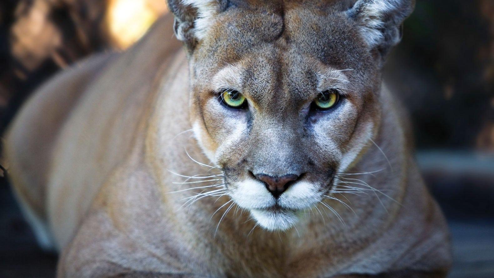Habitat Tile, Resource Center Header - Panther Eyes