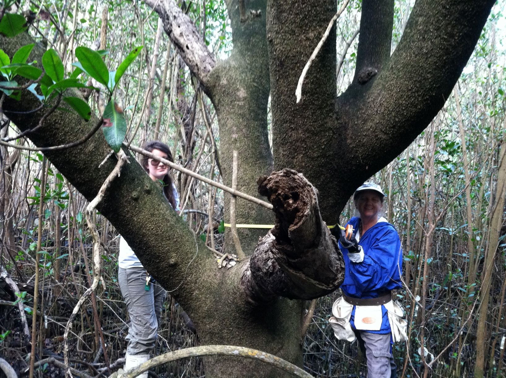 Kathy Worley and Taryn (former Conservancy intern) measuring a very old black mangrove tree.
