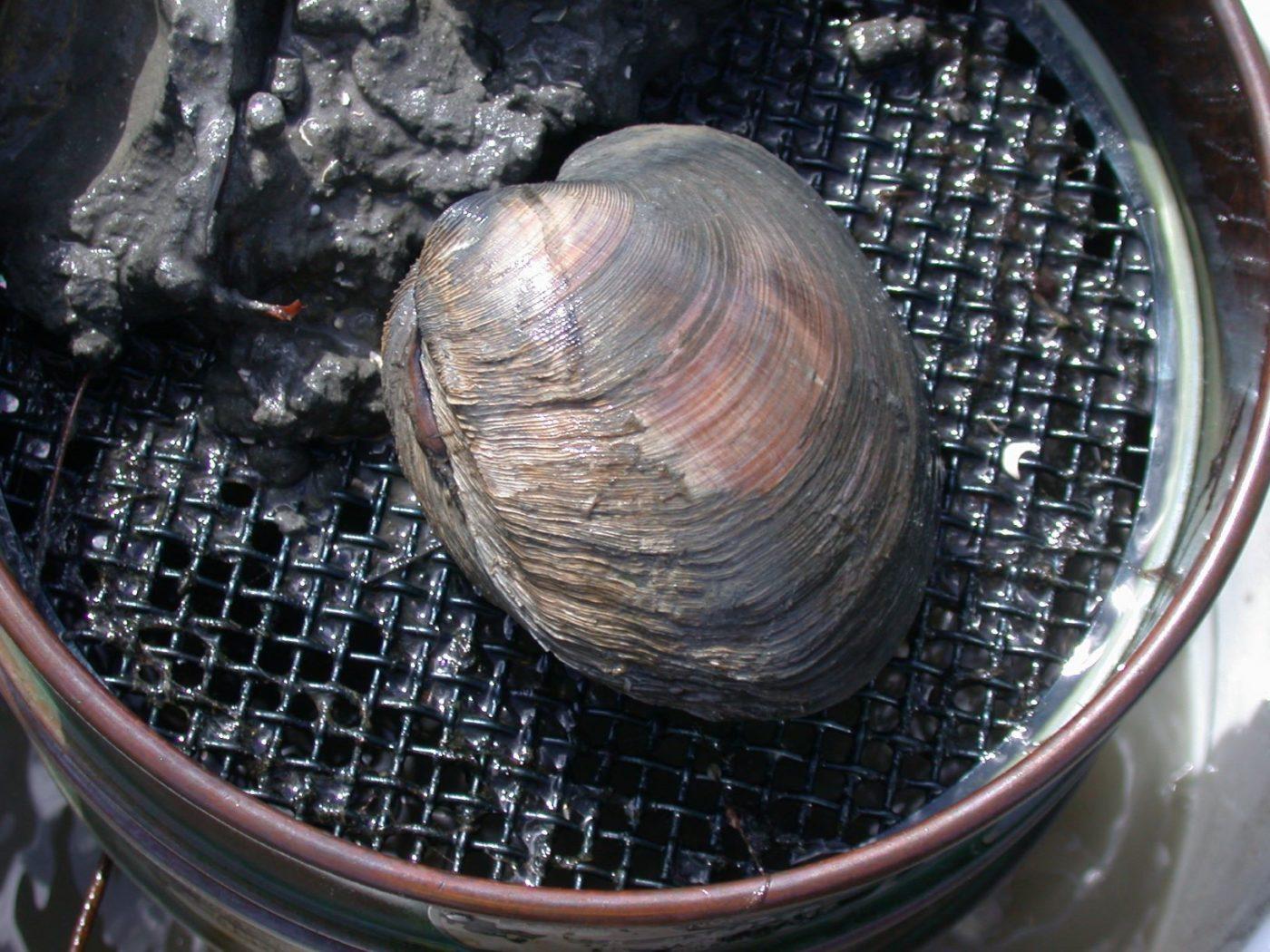 A quahog clam in a benthic sample.