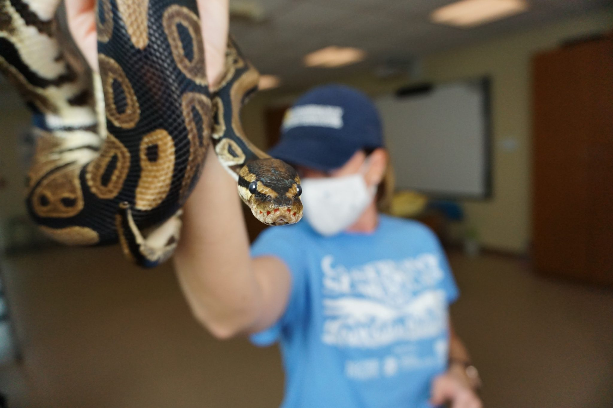 Monty, the Conservancy's ball python animal ambassador meets students during a live virtual animal encounter