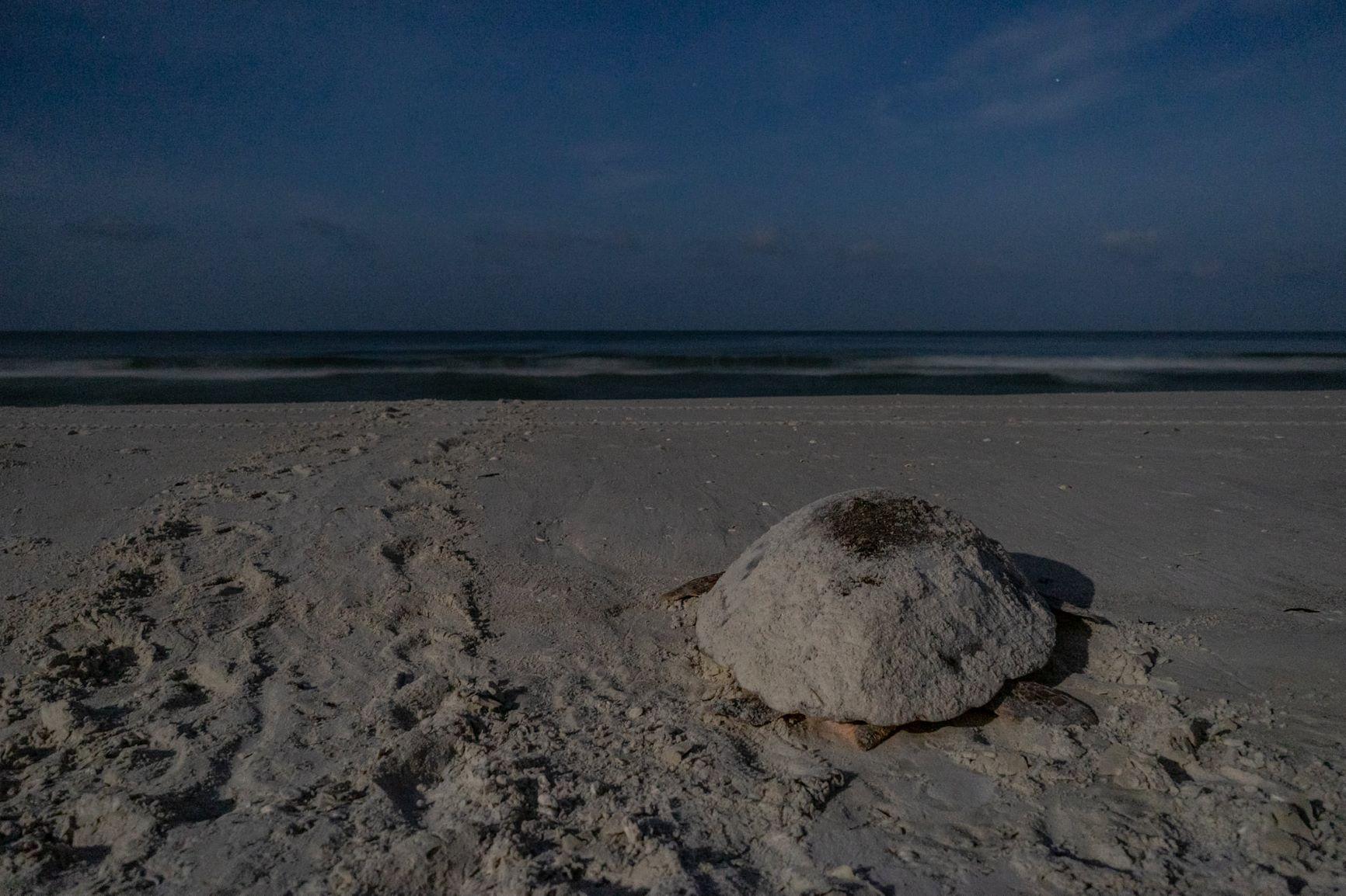 Nesting female loggerhead sea turtle returning to the Gulf of Mexico