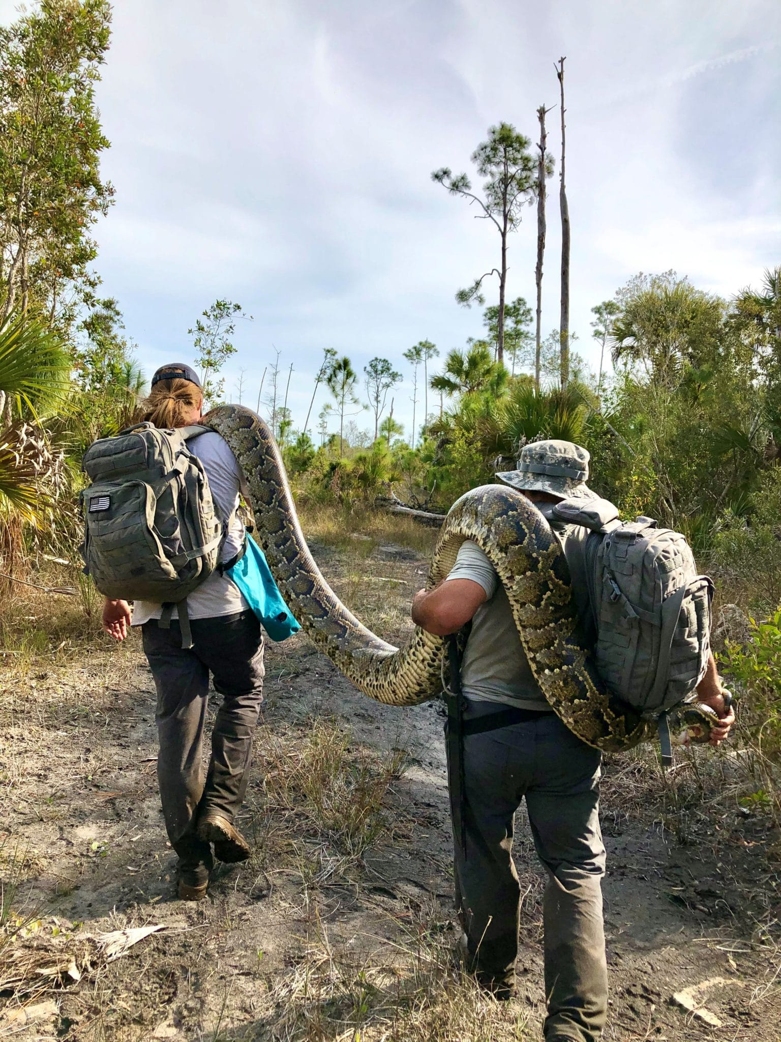 Team members hike out with large Burmese python on their shoulders