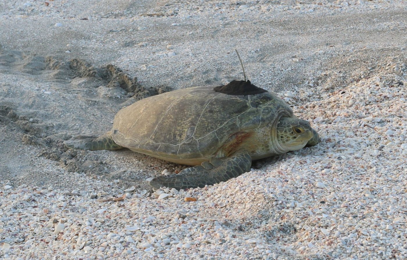 Green sea turtle with a satellite tag returning to the Gulf of Mexico