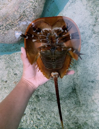 A volunteer presents the underside of a horseshoe crab to guests. Showing off its ten legs, mouth, and book gills. Staff and volunteers at the Conservancy are trained to properly handle the animals at our touch tank.