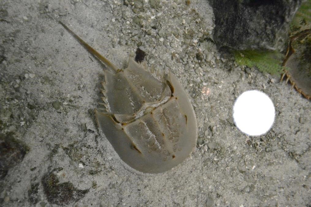 A horseshoe crab ambassador in the Conservancy's touch tank aquarium