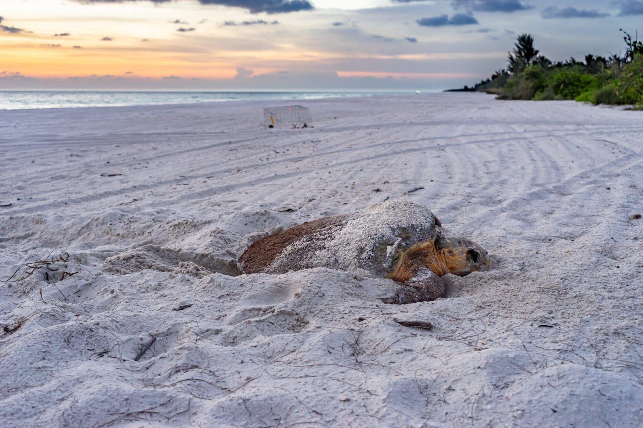 Loggerhead nesting on Keewaydin Island