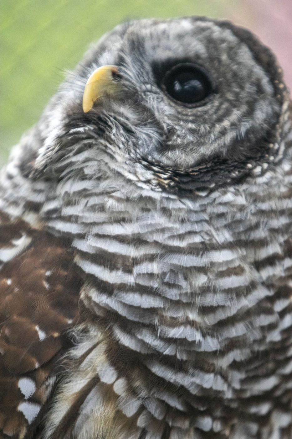 Olive the barred owl