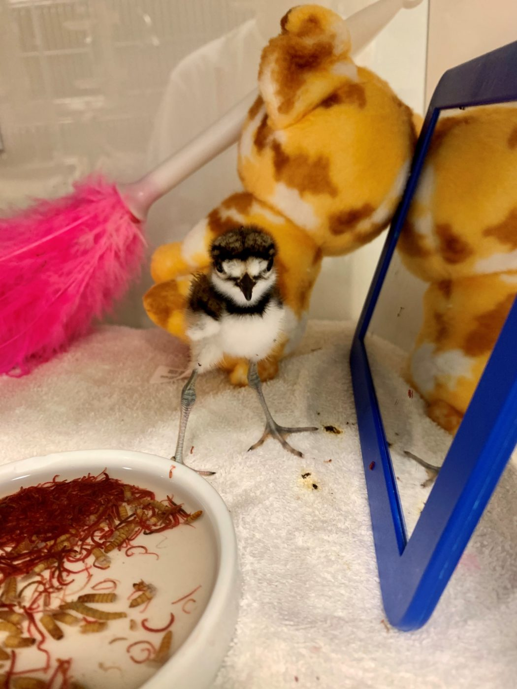 A young killdeer is offered a fresh diet while recovering at the von Arx Wildlife Hospital.