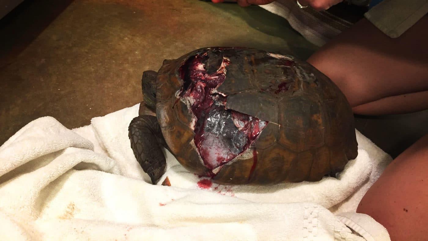 Gopher Tortoise FWC Blog