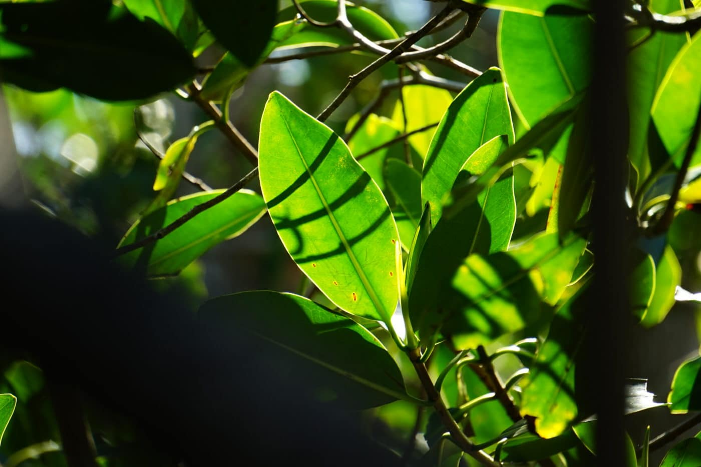 Close-up red mangrove leaves