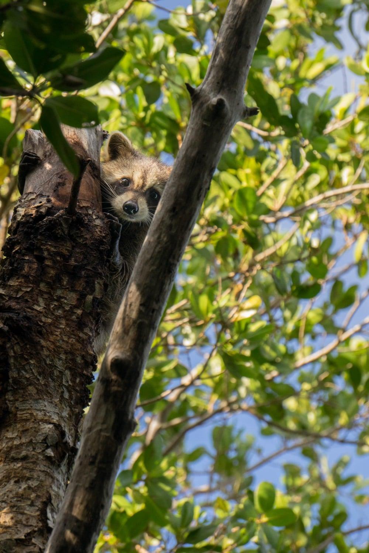 Raccoon in mangroves