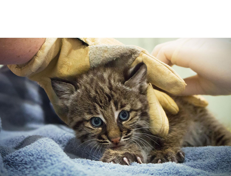 Closeup of baby bobcat