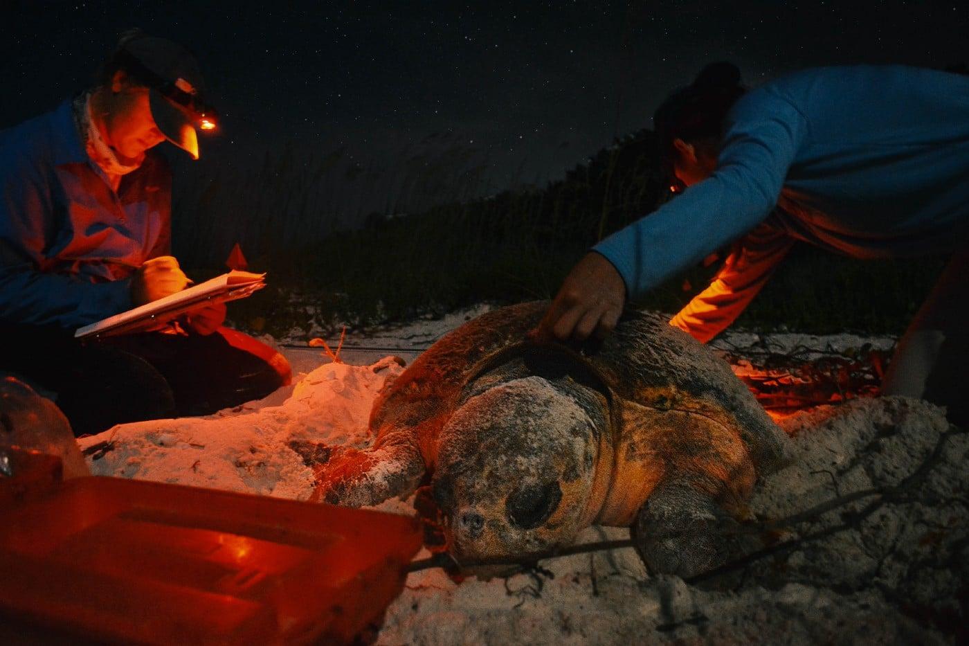 Interns working with a nesting loggerhead sea turtle on the beach