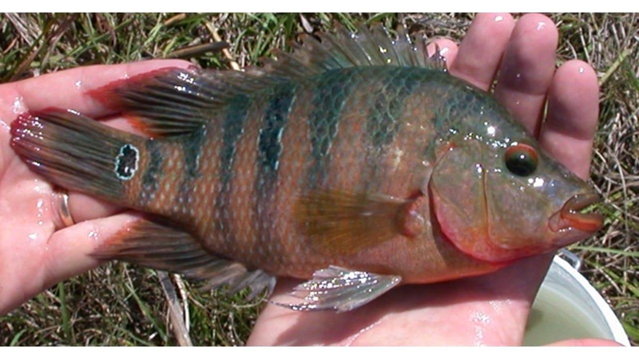 Atomic Sunfish