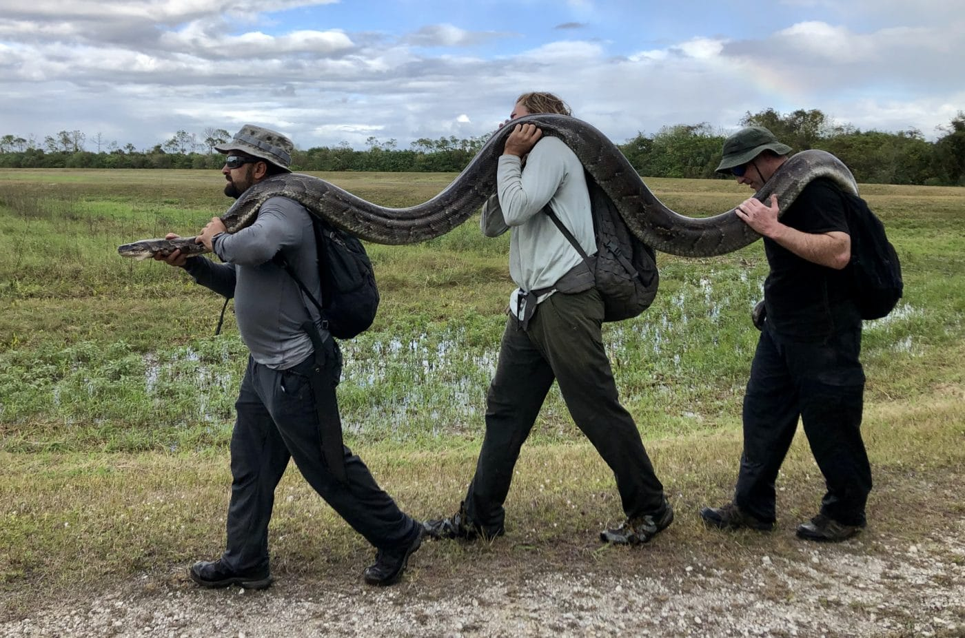 Capture Conservancy Of Southwest Florida Wildlife Biologists Ian Bartoszek Ian Easterling And Volunteer With A 110 Pound Female Burmese Python Located With A Scout Snake On 26DEC19
