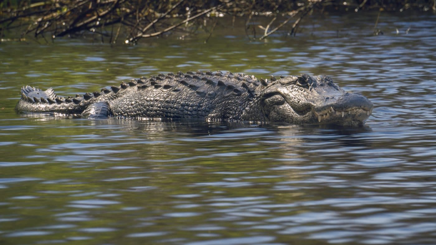 Alligator Fakahatchee (2)