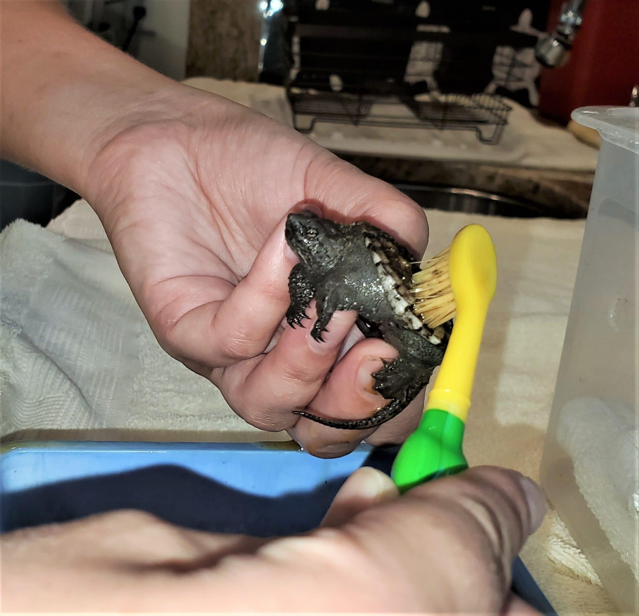 Baby Snapping Turtle cleaned with toothbrush