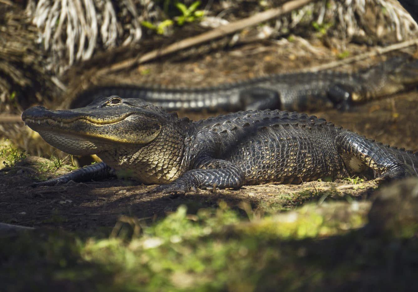 Alligator Fakahatchee (1)