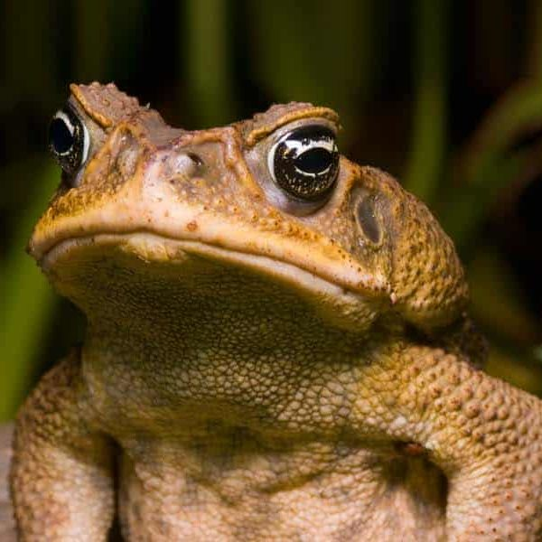 Cane Toad Banner