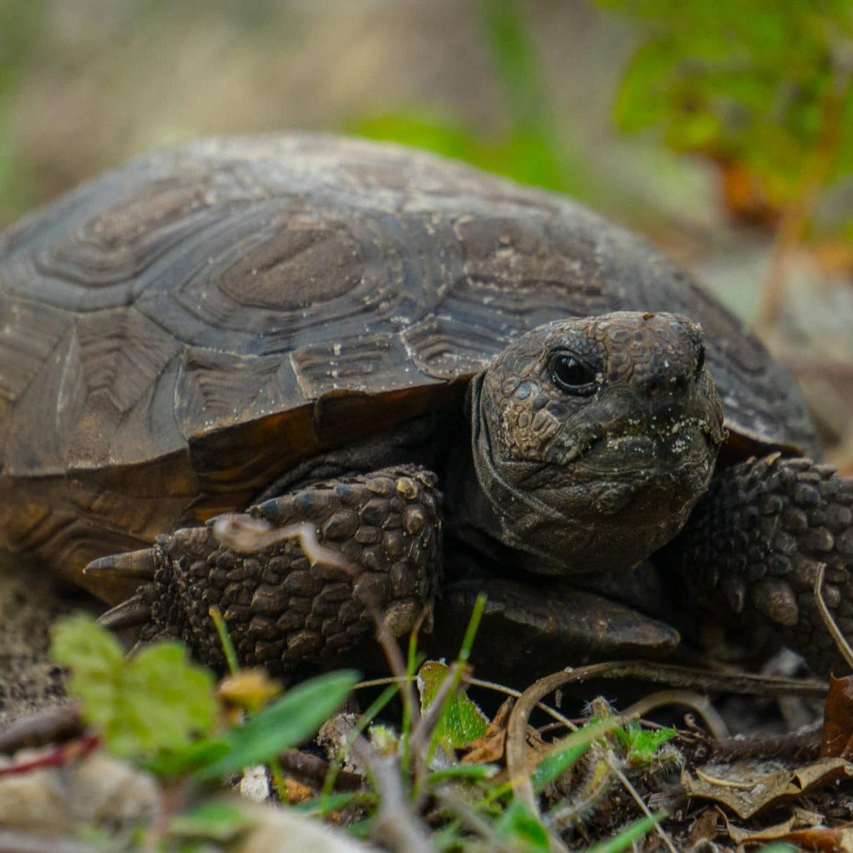 Gopher Tortoise (15)