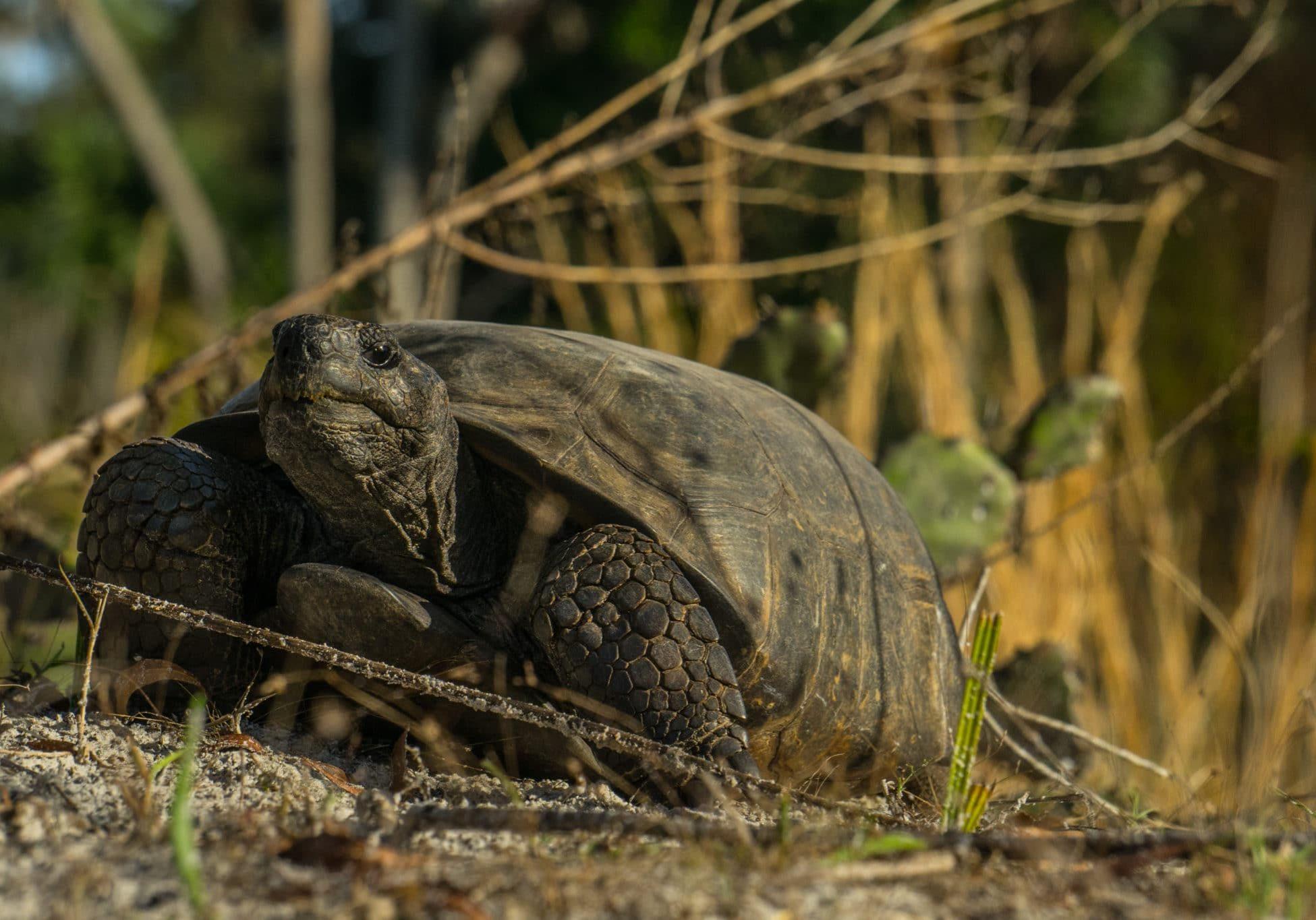 Gopher Tortoise (6)