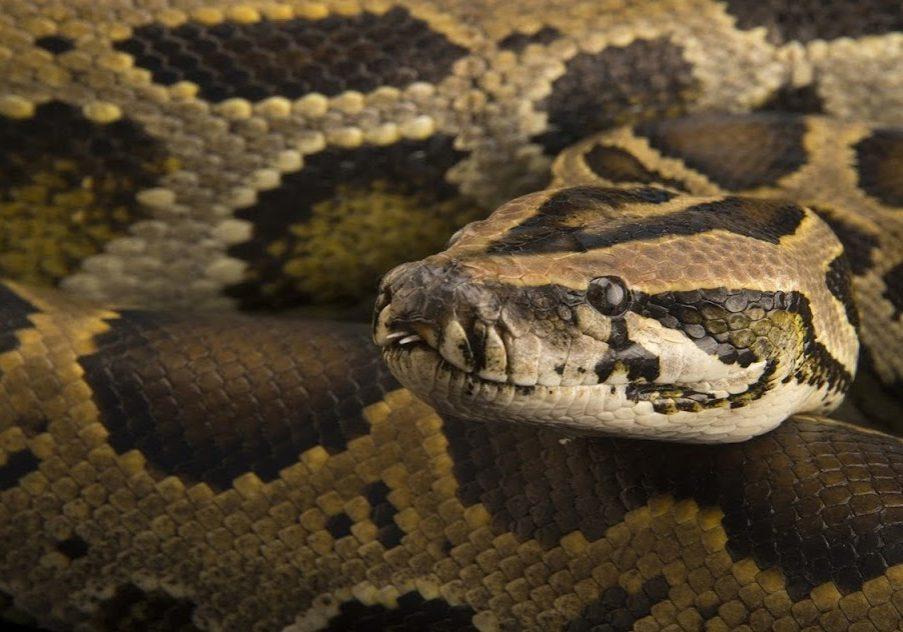 A studio portrait of a dwarf Burmese python, Python bivittatus progschai.